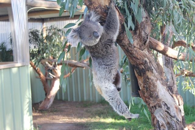 Koala nr 2